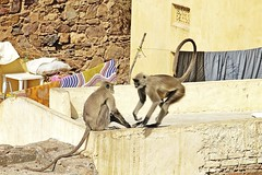 Bundi_monkeys 28 (peteypistolero) Tags: travel india nature wildlife monkeys rajasthan macaques bundi travelphotography travelphotos langurs peteypistolero canonrebelt2i peteschnell