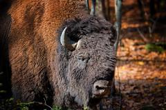 Quebec Buffalo (VLADIMIR NAUMOFF) Tags: canada buffalo nikon vladimir naumoff quebecnature
