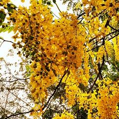ราชพฤกษ์ หรือ คูน (อังกฤษ: Golden shower; ชื่อวิทยาศาสตร์: Cassia fistula) เป็นไม้ดอกในตระกูล Fabaceae เป็นพืชพื้นเมืองของเอเชียใต้ ตั้งแต่ทางตอนใต้ของปากีสถาน ไปจนถึงอินเดีย พม่า และศรีลังกา ดอกราชพฤกษ์เป็นดอกไม้ประจำชาติไทย นิยมปลูกเป็นไม้ประดับในพื้นที