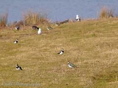 Lapwing (Helen 74) Tags: bird water garden lapwing rspb canon500d oldmoor