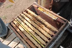 IMG_0111 (urban bees seoul) Tags: urban bees honey seoul beehive  beekeeper