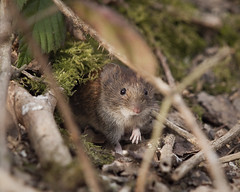 Bank Vole (John (Gio) * OVER 100,000 VIEWS *) Tags: uk nature mammal kent wildlife olympus gio vole smallmammal fourthirds bankvole nbw clethrionomysglareolus zuikodigitaled50200mmf2835swd