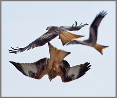 Llanddeusant Red Kites. (Wrinklyrocker 85) Tags: red kite birds prey raptors llanddeusant