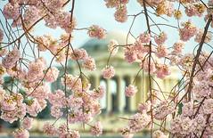 Bloomin' Jefferson (Warriorwriter) Tags: pink flowers blue trees festival cherry photography japanese washingtondc spring nikon day vibrant blossoms tourists clear bloom sakura buds nikkor tidalbasin d800e