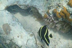 Juvenile French Angelfish (awalkerca) Tags: fish angelfish