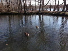 Belmont Lake State Park: Swimming Geese (IslesPunkFan) Tags: park ny newyork nature state longisland deerpark belmontlake