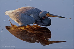 Tricolored Heron (Kevin B Photo) Tags: morning blue winter light wild usa sunlight color reflection bird heron nature wet water beautiful beauty birds horizontal closeup america sunrise outside outdoors photography one colorful day exterior unitedstates feeding florida native wildlife south wing peaceful calm southern wetlands everglades daytime fl wade evergladesnationalpark southeast winged avian wading wetland tricoloredheron serenitynow wowiekazowie 100ypl
