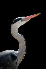 Grey Heron - back light (Thomas Frejek) Tags: birds aves ardeacinerea vgel greyheron graureiher 2013