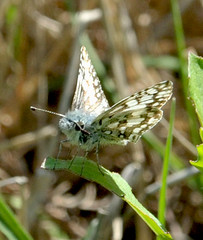 Common Checkered Skipper - Pyrgus communis (jwinfred) Tags: mississippi delta greenville nature cypress preserve insects nikon d700 sigma 200 mm macro