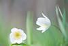 Conversation (Monique vd Hoeven) Tags: flower macro spring soft belgie ardennen bloemen voorjaar thierache bosanemoon nikond700 macrodreams nikor105mmm regniessart