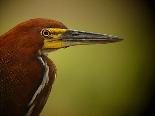 Rufescent Tiger Heron, adult