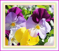 Spring Pansies In Spring Sunlight (bigbrowneyez) Tags: flowers light nature beautiful ruffles petals shadows dof faces bright bokeh fresh precious frame transparency colourful lovely fiori delicate joyful pansies sweetness colori belli luminous springmix bellissimi caresses miogiardino springflickr pansyfaces springpansiesinspringsunlight