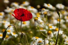 Stand up poppy (Flavio~) Tags: red wild flower field dof