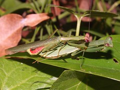 Mating Mantids (Callimantis sp.) (Hickatee) Tags: belize puntagorda prayingmantis mantid hickatee toledodistrict hickateecottages callimantis