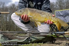Mirror Carp - Cyprinus carpio (puffinbytes) Tags: greatbritain england animals unitedkingdom carps eastsussex animalia cyprinidae cypriniformes chordates chordata cyprinuscarpio mirrorcarp actinopterygii rayfinnedfishes cyprinus taxonomy:kingdom=animalia taxonomy:phylum=chordata taxonomy:class=actinopterygii taxonomy:family=cyprinidae taxonomy:order=cypriniformes taxonomy:genus=cyprinus taxonomy:binomial=cyprinuscarpio spb:species=cyprinuscarpio spb:country=uk spb:id=024y spb:lid=00ao spb:pty=f cyprininae taxonomy:species=carpio taxonomy:subfamily=cyprininae taxonomy:common=mirrorcarp spb:pid=0r54