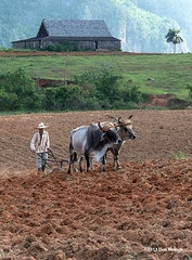 Vinales Farming (dfbphotos) Tags: people spring farm cuba places workshop april farmer vinales oxen 2013 animalsdomestic