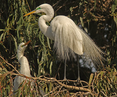 Looking Up to Hubby (cetch1) Tags: heron nature birds northerncalifornia birding greategret ardeaalba breedingplumage aigrette avianexcellence matingbehavior northerncaliforniawildlife ninthstreetrookery