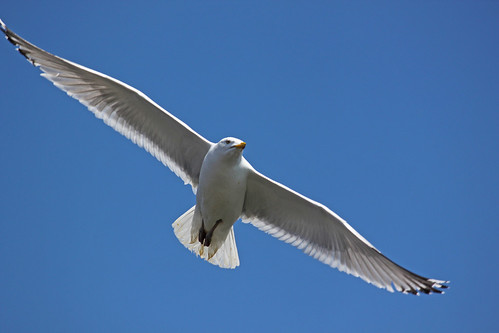 Herring Seagull at Gloucester Harbor _6815