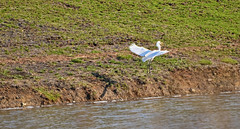 Great Egret (Chad Horwedel) Tags: lake fish bird water fly illinois flight greategret mouthful bolingbrook