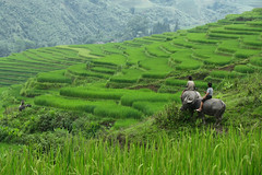 Terraces in Sa Pa. Viet Nam (NeSlaB ф.) Tags: boy nature field children landscape photo kid buffalo asia rice terraces young photojournalism vietnam agriculture sapa laocai developingcountries reportage neslab