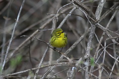 Prairie Warbler (male) (Jeremy Meyer) Tags: male bird milwaukee prairie lakepark warbler prairiewarbler prairiewarblermale