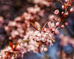 Blossoms I (Luziferian) Tags: pink light nature spring blossom bokeh blossoms kiel frühling blüten frühjahr luziferian marcobergner