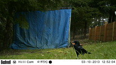 Crow (artlessfun) Tags: bird kalama corvid americancrow artlessfun cowlitzcountywa trailcamphotos
