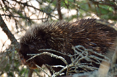 All Smiles (SDewittPhoto) Tags: tree nature mammal climb scenery outdoor shy porcupine allofnatureswildlifelevel1