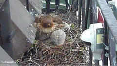 trying to fit under BR2 (Cornell Lab of Ornithology) Tags: red bird big university cams cornell redtailedhawk nestlings labofornithology cornelllabofornithology