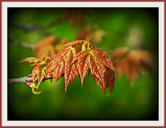 Maple Leaf (clickclique) Tags: red green leaves closeup leaf spring maple bokeh naturescarousel