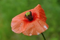A poppy after the rain (mamietherese1) Tags: shining givemefive expressyourself callingallangels bej fantasticnature abigfave floralessence otrossorougerood awesomeblossoms goldenart sublimemasterpiece redmatrix sailsevenseas coppercloudsilvernsun sublimeflowershot ringexcellence blinkagain phoeniximmortal lovelymotherearth macromagister vpu1 flickrsfinestimages1 vigilantphotographersunite vpu2 vpu3 vpu4 vpu5 vpu6 vpu7 vpu8 vpu9