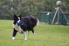 2011_0426_+10 (inmonkey62) Tags: dog flying coin collie pentax border dal bordercollie disc   kx 50300