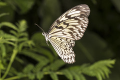 0002 white in flight (DJB Quarndon) Tags: colour macro nature butterfly wings butterflies insects catterpillar