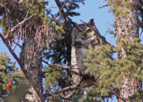 Great Horned Owl...#4 (Momma GHO)