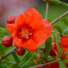 Pomegranate Blossom (nebulous 1) Tags: red orange flower nature flora nikon blossom pomegranate pomegranateblossom nebulous1