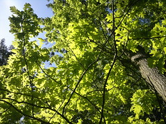 Illuminated Oak (Gazzmann80) Tags: light tree green nature oak