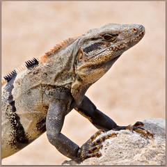 Dragon of Tulum (Stella Blu) Tags: animal mexico reptile iguana squareformat quintanaroo nikkor18200 stellablu challengeyouwinner favescontestwinner thechallengefactory fotocompetition fotocompetitionbronze nikond5000 cyunanimous herowinner ultraherowinner pregamewinner