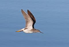 Inflight Yellow Legs (AlaskaFreezeFrame) Tags: birds yellowlegs greateryellowlegs lesseryellowlegs canon 70200mm alaska alaskafreezeframe flying inflight nature outdoors wildlife action shorebirds