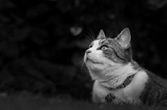 Oscar (simon.mccabe.5) Tags: portrait bw pet pets love animal cat