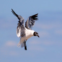 Laughing Gull hovering...6O3A4981A (dklaughman) Tags: laughing gull capehenlopen delaware