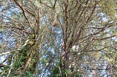 """Imbroglio arborescent (Brigitte .. . """"Tatie Clic"""") Tags: 201607054 juillet été moucharabieh arbre nature sansretouche tronc branche"""