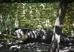 Tapir (littlestschnauzer) Tags: summer animal animals nature unusual tapir shade hot sunshine mexico xcaret park vacation travel holiday 2016 resting tapirus central america herbivore face mammal snout tapirs jungle forest habitat