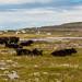 Livestock on Inis Mor