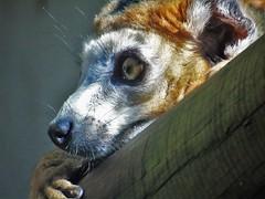 crowned lemur. (amymcginn389) Tags: crowned lemur orange red fur white face black nose hazel eye log close up zoo