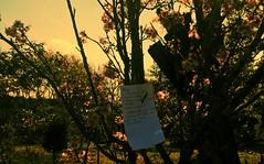 Wish ( NEKO) Tags: lumiacam lumia sakuras hanami sopaulo aolivre zonaleste parquedocarmo parc park parque natureza nature flora mataatlantica taiko   love family famlia flowers flores cerejeiras festivaldascerejeiras sp sepe itaquera fazendadocarmo