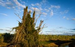 crow's castle (dustaway) Tags: landscape richmondvalley richmondriverfloodplains sugarcane drain water winter lateafternoon ruralaustralia rurallandscape eastcoraki australianlandscape crow crowscastle deadtree bluesky mccuedrain