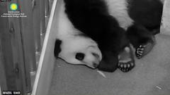2016_08-16zn (gkoo19681) Tags: beibei sleepyhead toocute feetsies ccncby nationalzoo