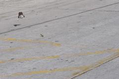Sobrevivencia (Servio.david) Tags: cazador presa ave insecto hambre vuelo escapada naturaleza hunter prey bird insect hunger flight getaway nature chasseur proie oiseau insecte lafaim vol fuite jger beute vogel insekt flucht natur cacciatore lapreda uccello insetti lafame volo partenza lanatura
