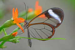 Glasswinged butterfly (Rene Mensen) Tags: glasswinged butterfly transparent schmetterlinge rene mensen nikon nikkor d5100 macro micro wildlands emmen holland thenetherlands mariposa