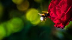 Bourdon (Alexandre LAVIGNE) Tags: hdpentaxdaaf14xaw louisengival pentaxk3 smcpentaxda300mm14sdm bokeh bourdon fleur nature rose vol